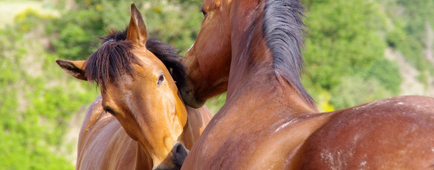 Pferde-zwei-soziale-Fellpflege-Header