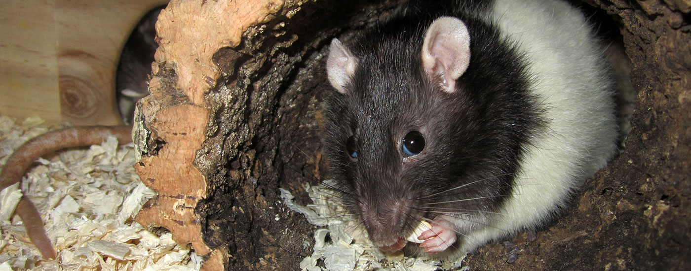 Ratte-Roehre-c-Missler-Header