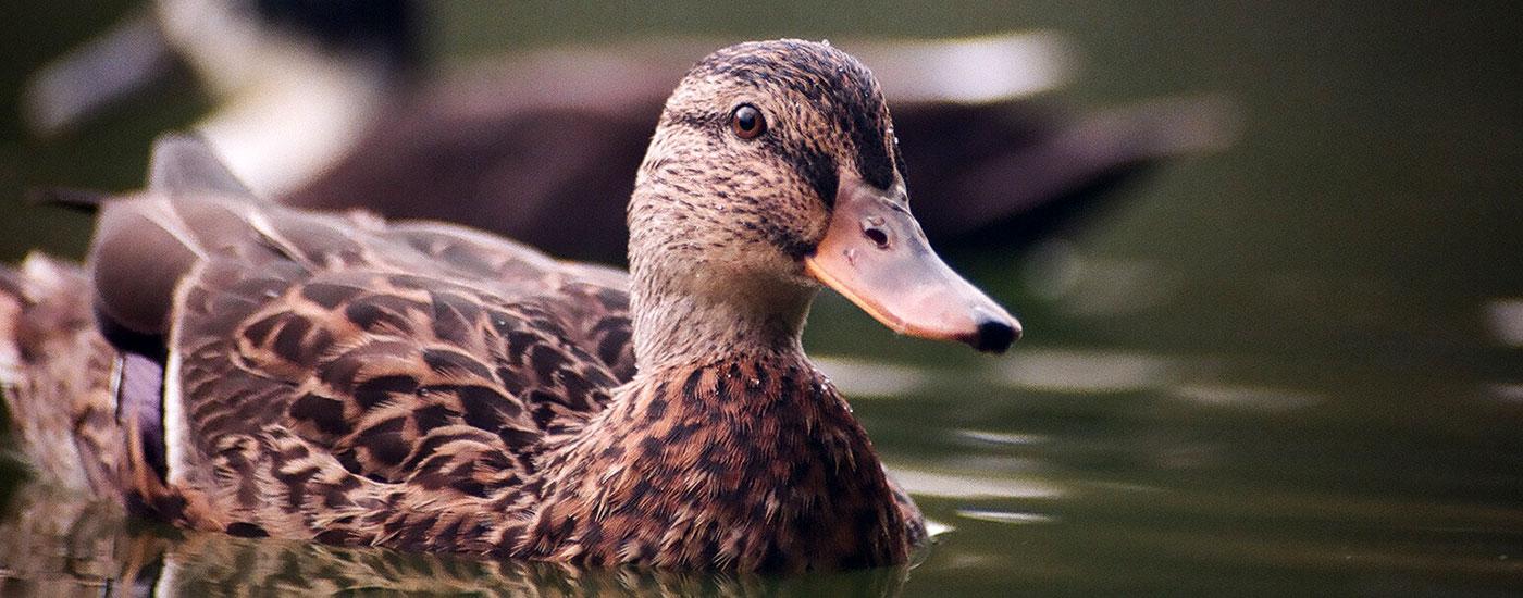 Stock-Ente-Weibchen-Wasser-Header