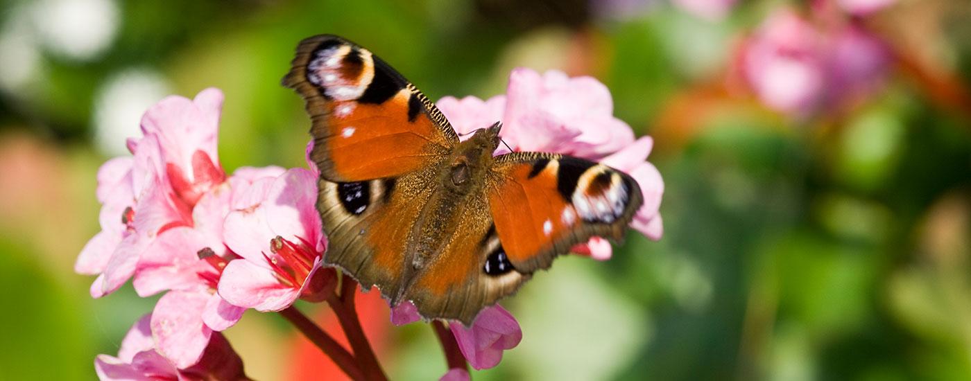 Schmetterling-Tagpfauenauge-Blumen-Header