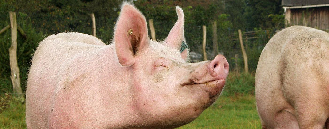 Schweine-Wiese-artgerecht-Header