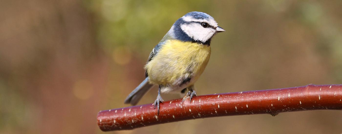 Vogel-Blaumeise-Ast