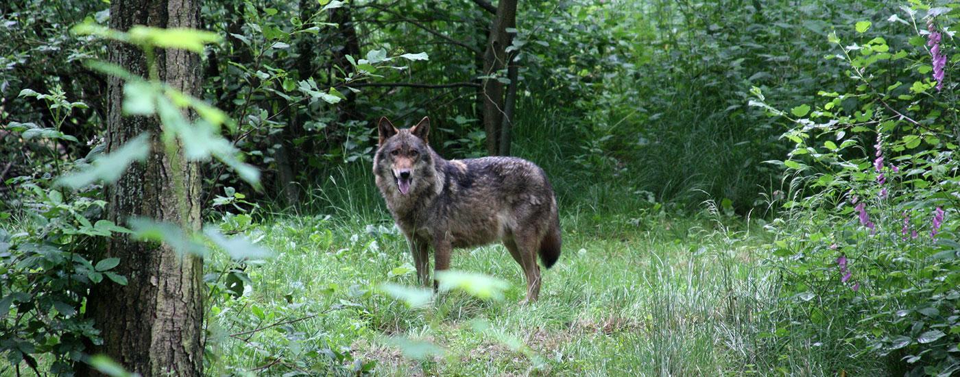 Wolf-Wald-Wiese-Header