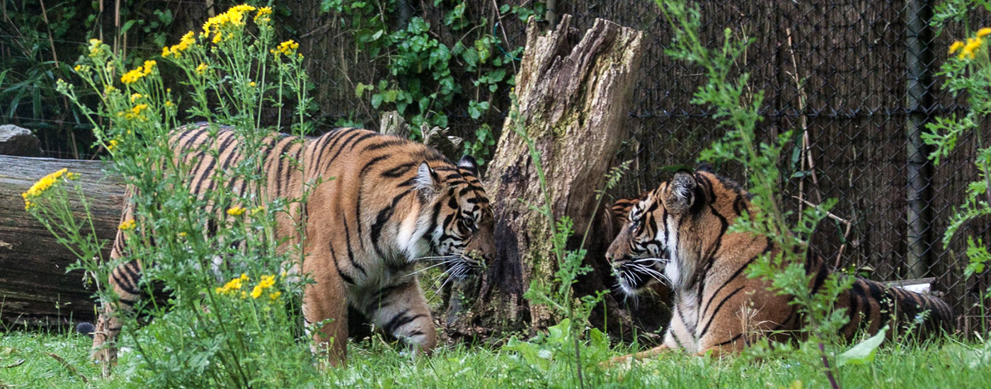 Tiger-Burgers-Zoo-Arnheim-Holland