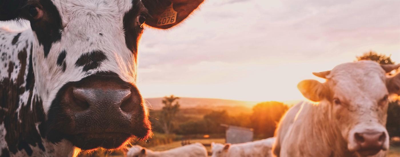 Rinder auf Wiese Sonnenschein Header Material