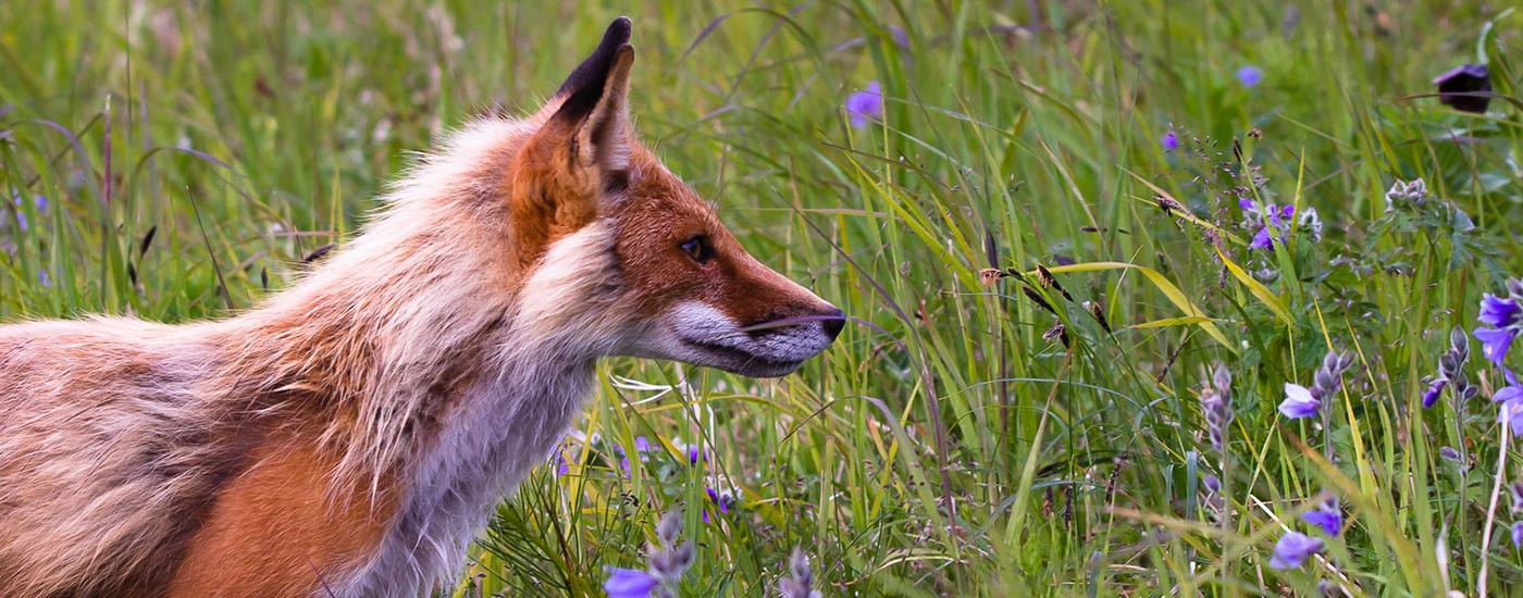 Wildtiere Fuchs Material Header
